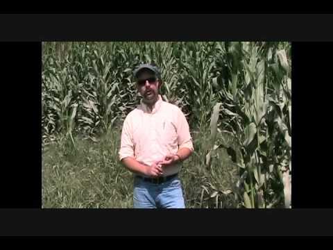 Managing Flood Damaged Corn: Silt Contamination