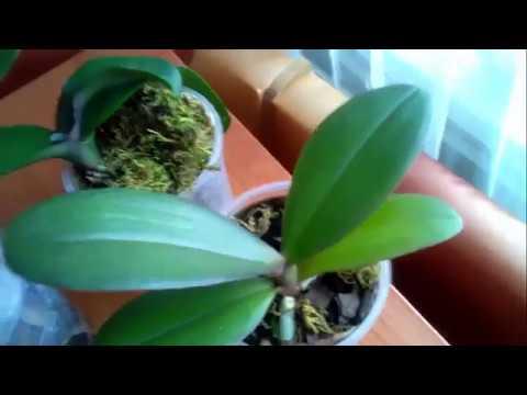 Проверенный способ наращивания корешков у орхидей