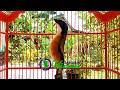 Ocehan Burung Cendet Juara Cocok Buat Masteran  Mp3 - Mp4 Download