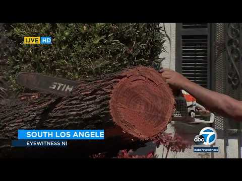 Massive tree lands on parked cars in South LA amid strong winds I ABC7