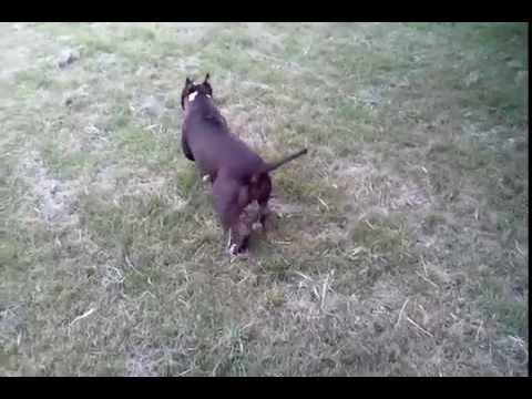 American Pitbull Terrier Serbia