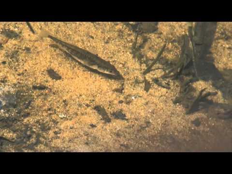Natural Aquarium (HD Movie 02) - Three-spined Stickleback & Fish Profile.