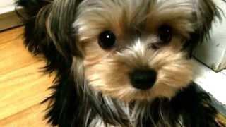My Silky Terrier Puppy Moongchi