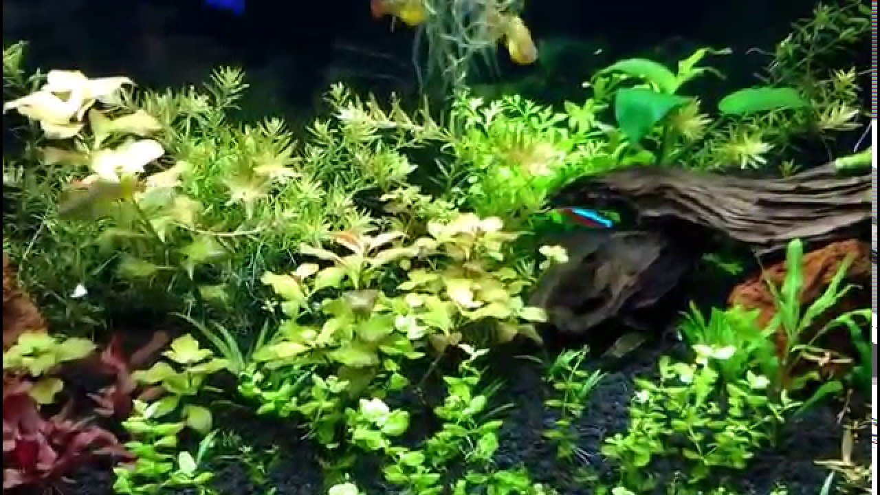How To Remove Driftwood Tint From Your Planted Aquarium Youtube