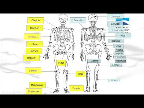 Functions Of The Skeleton And The Major Bones Of The Body