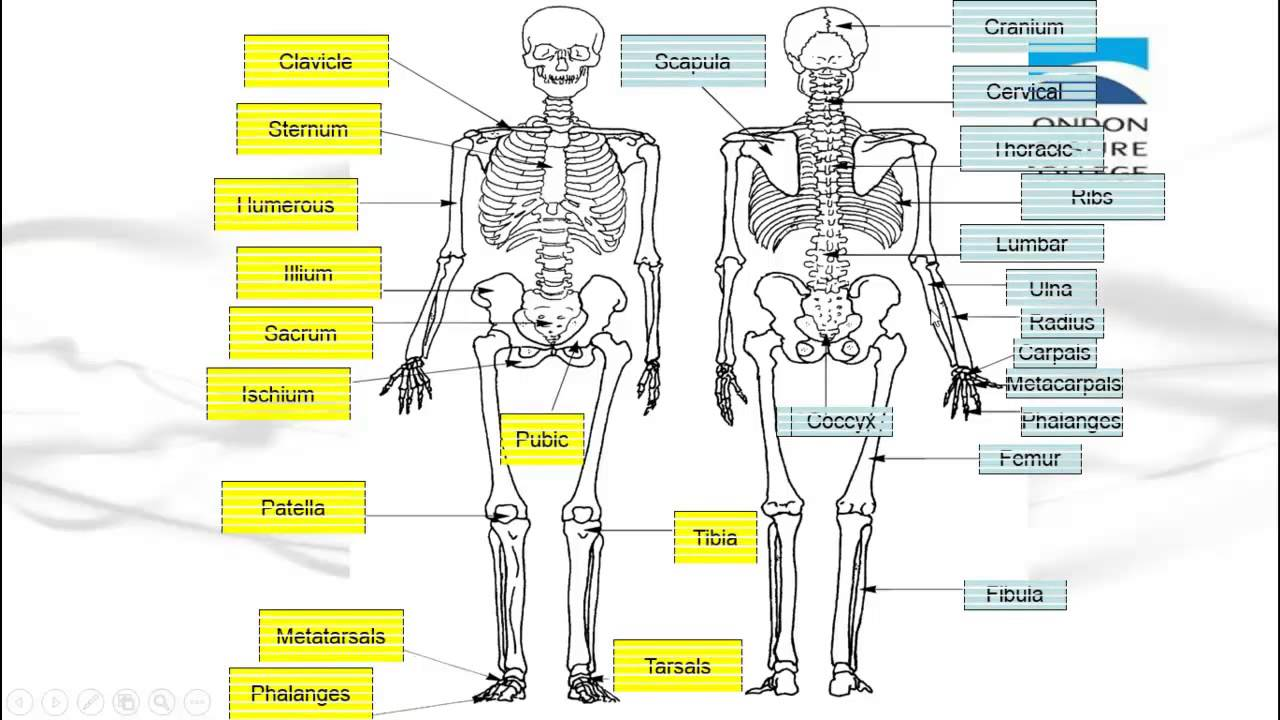 hight resolution of diagram of every bone in the body