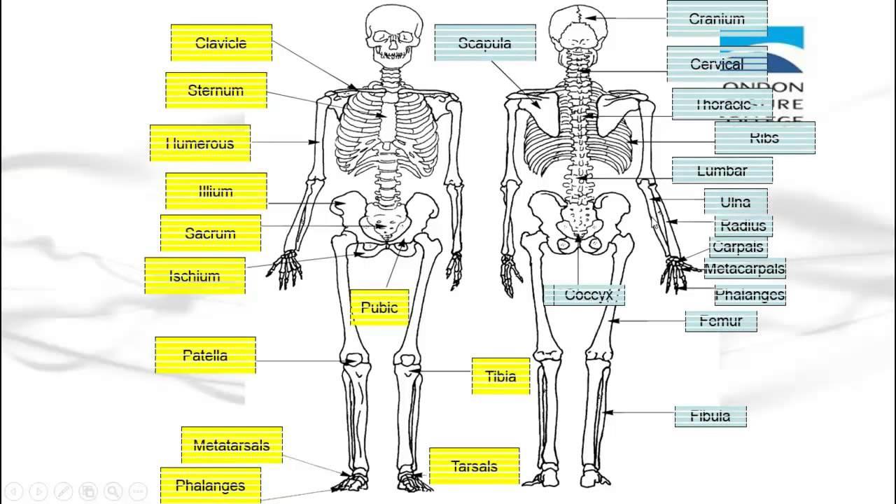 diagram of every bone in the body [ 1280 x 720 Pixel ]