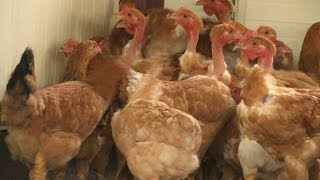 Dans le Gers, poulets bio et circuit court