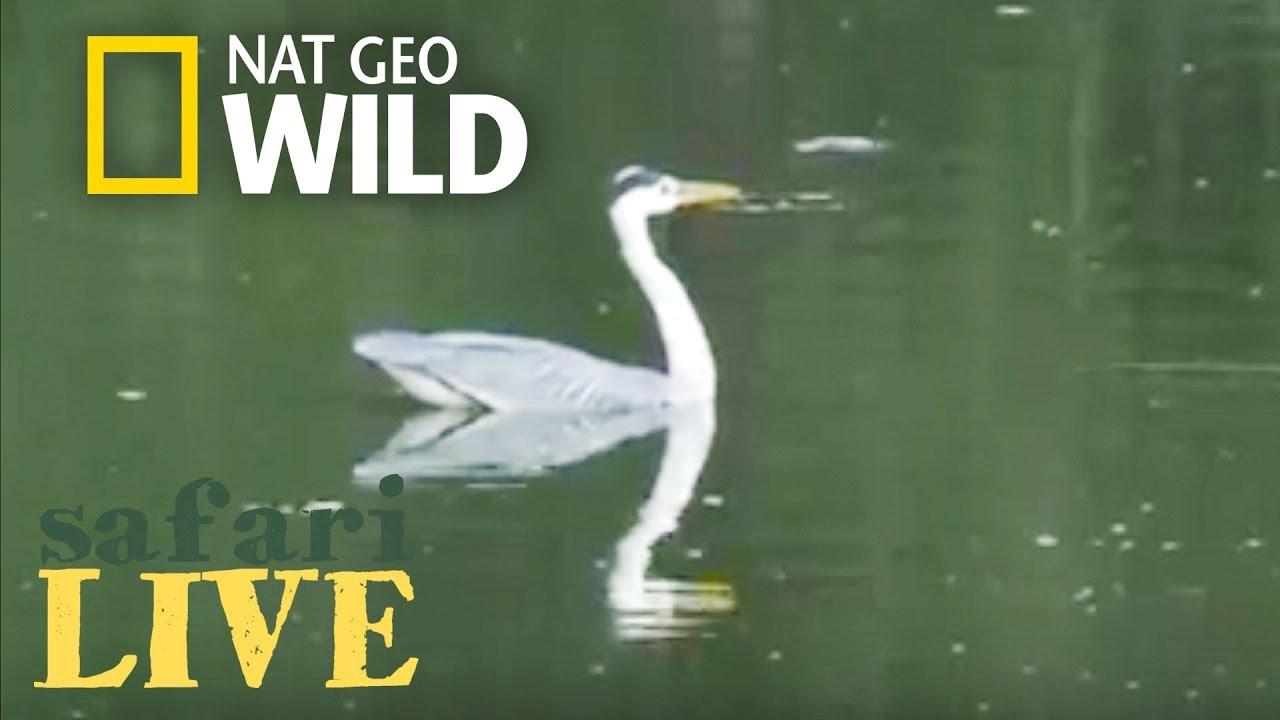 Safari Live - Day 130 | Nat Geo Wild