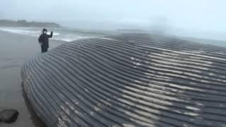 ballena azul varada en el sur de chile