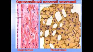 Ткани. Эпителий. Железы. Видео лекция С.М.Зиматкин (4)