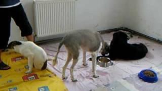 querschnittsgelaehmte_hunde_in_rumaenien_bitten_um_unterstuetzung.AVI