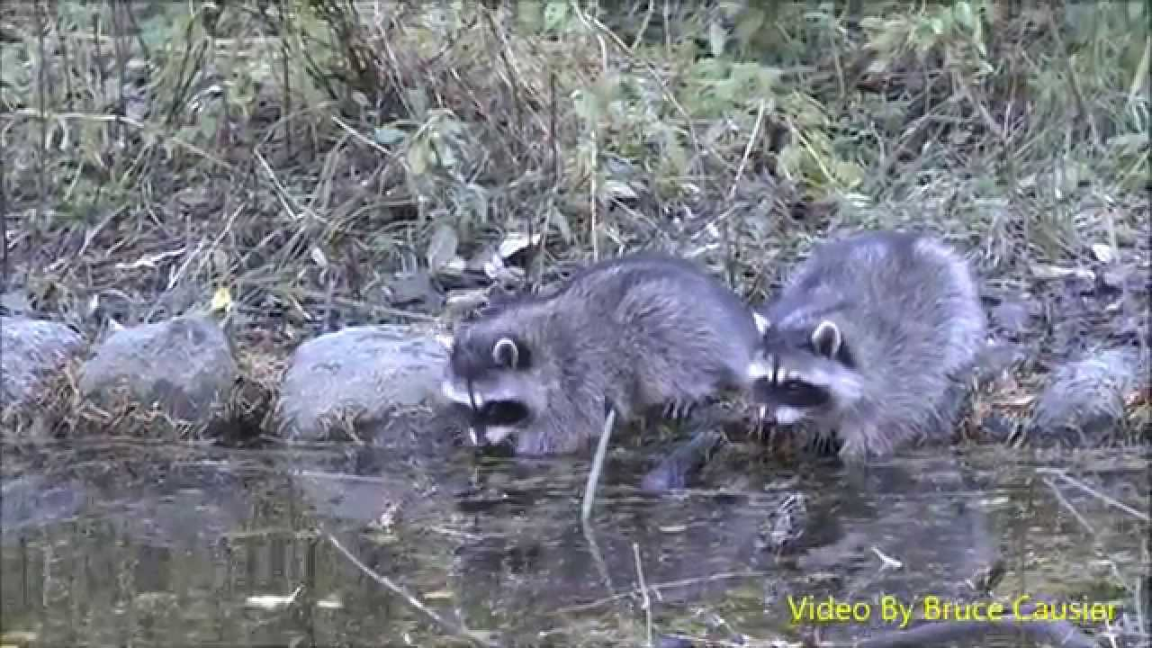 Baby Raccoons Washing Their Hands Youtube