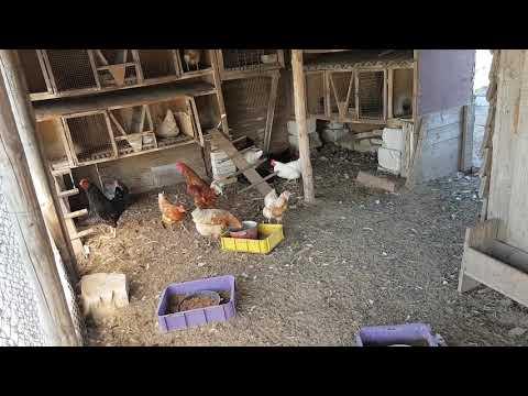 Кто ворует куринные яйца?