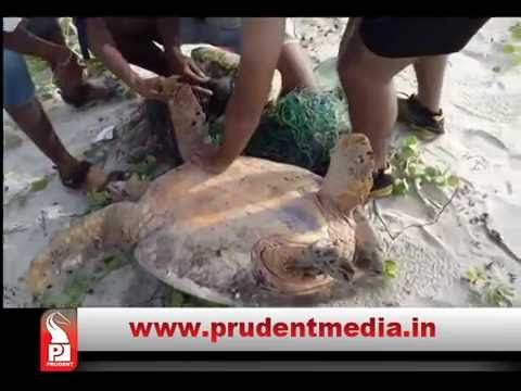 LIFEGUARD RESCUES OLIVE RIDLEY TURTLE IN COLVA