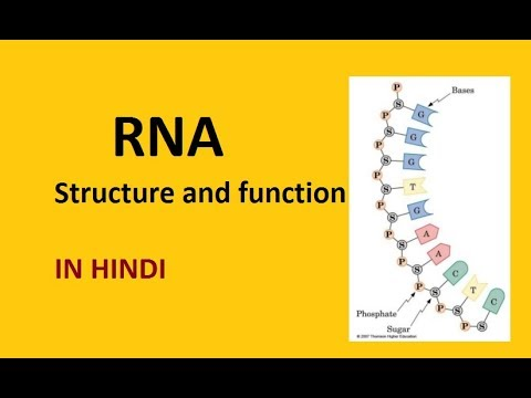 RNA Structure and Function in Hindi for NEET BIology EASY STUDY BYTES