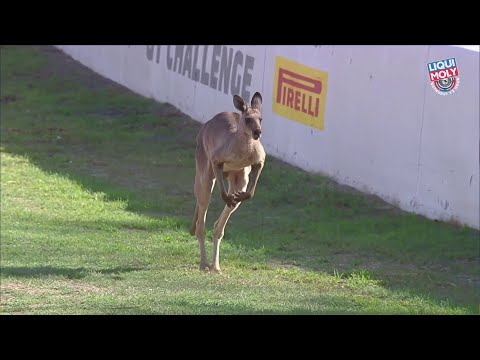 Bathurst 12 Hour: This kangaroo on Mount Panorama is the best thing ever