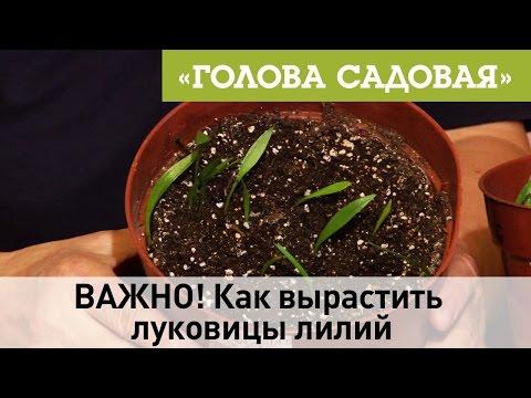 Как вырастить лилию из чешуйки дома