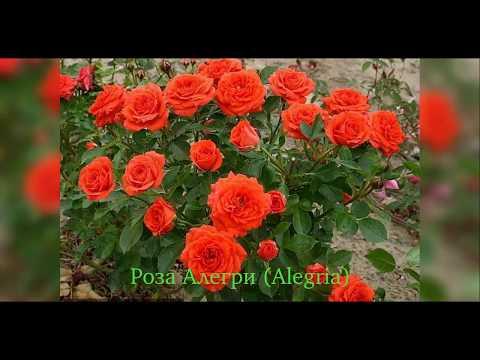 Rose Alegria (Роза Алегри)