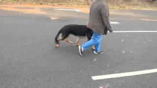 Off Leash Heeling On 3rd Lesson | German Shepherd | Pittsburgh Dog Trainer