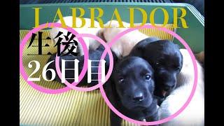 フィールド系ラブラドールレトリーバーの子犬が生まれました。 生後26日...