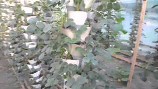 вертикальное выращивание клубники(вертикальное выращивание клубники имеет очень много достоинств., 2013-06-10T16:33:36.000Z)