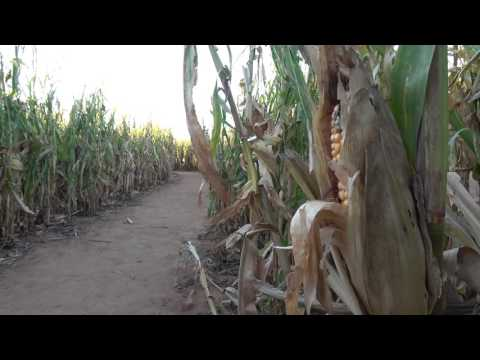 At'l Do Farms Corn Maze (James Simpson Interview)