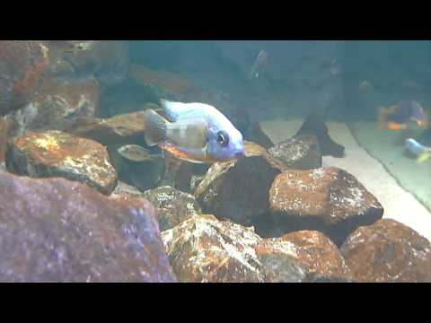 250 Gallon Malawi Fish Tank - LIVE STREAM