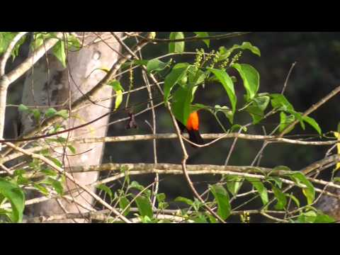 Cherrie's Tanager In Osa Peninsula Video Graphy By Arif Herekar