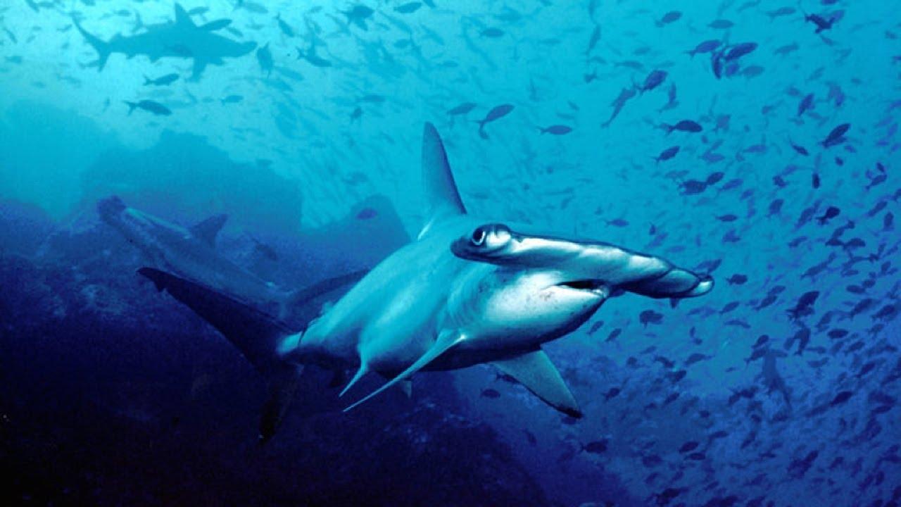 New Hammerhead Shark Discovered Near South Carolina