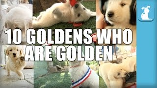 10 Golden Retriever Puppies Who Are Golden! - Puppy Love