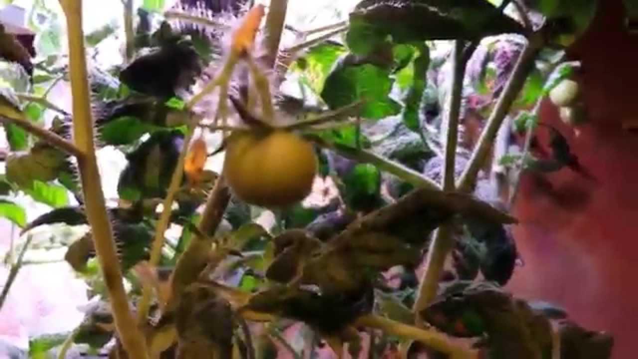 Aerogarden Mega Cherry Tomato Update - Day 77 - YouTube