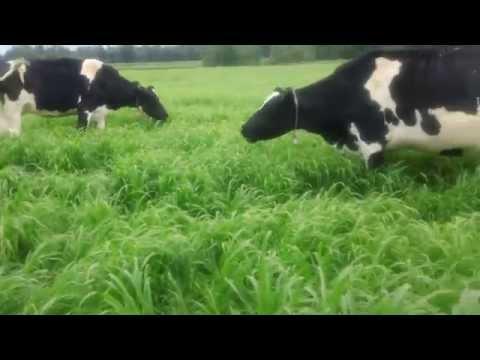 8 Cows on Pearl Millet