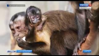Ленинградский зоопарк опубликовал видео новорожденного капуцина