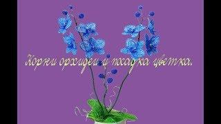 Корни орхидеи и посадка цветка/Roots of orchids and planting flowers