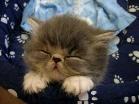 Sweet Tired Cat [-.-]Zzz – Fluffy Persian Kitten –