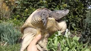 каймановая черепаха и красноухая черепаха Весна 2016 Pond slider snapping turtle