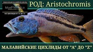 "Aristochromis (Аристохромис). Энциклопедия малавийских цихлид от ""А"" до ""Z"""