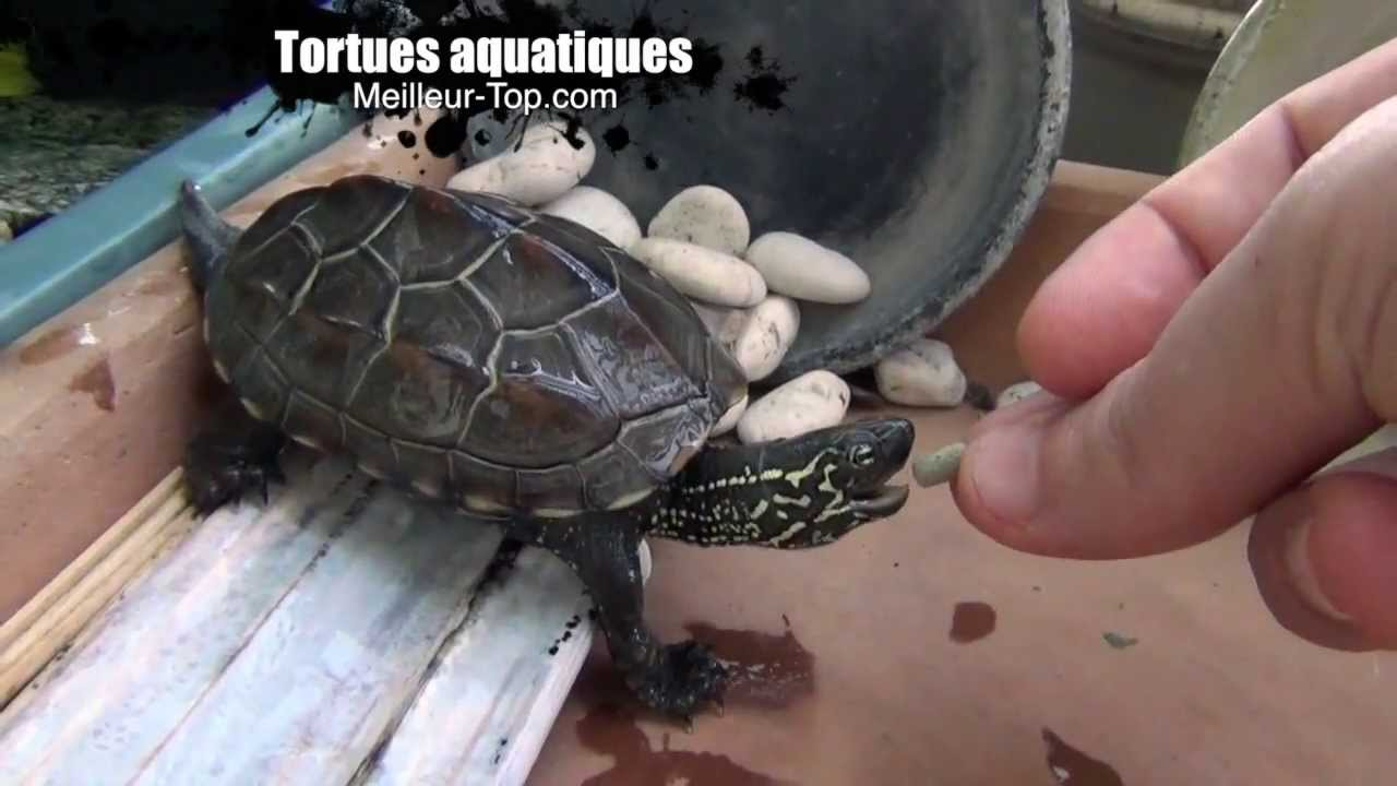 Tortues aquatiques tortue d 39 eau nourriture youtube for Nourriture aquarium