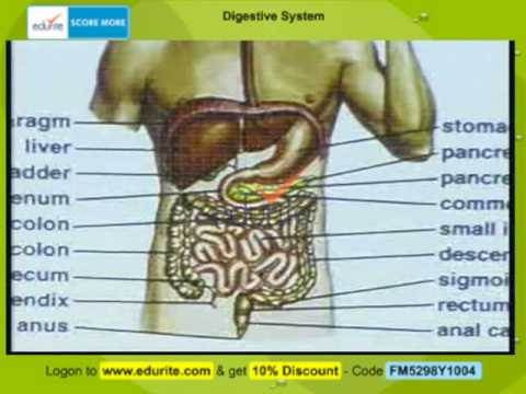 Human Digestive System - YouTube