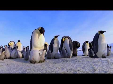 Emperor penguin chicks trying to huddle underneath an adult penguin