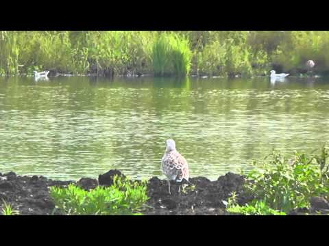 Młoda mewa orlica / Juvenile Pallas