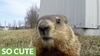 Adorable gopher is too curious to resist the camera
