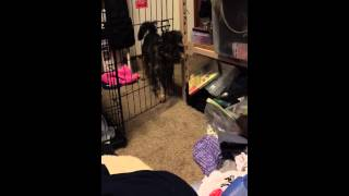 Mini Schnauzer Terrier Mix Opens A Gate On 4th Try
