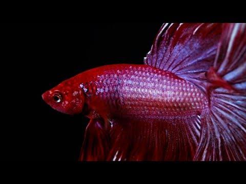 A Closer Look At Betta Fish