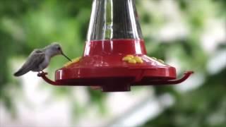 Leucistic Rubythroated Hummingbird