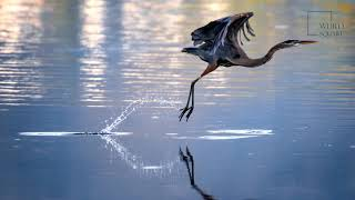 Heron   Feeding gracefully at the edge of the water with its sharp, pointed beak