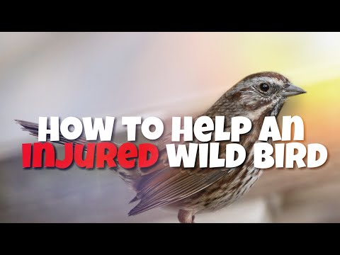 How to Help A Baby/Injured Bird?