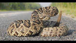 cascavel Característica e seu veneno mortal conheça um pouco desta cobra !!