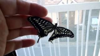 卵から幼虫 そしてサナギになり 成虫まで育てた アゲハ蝶です.